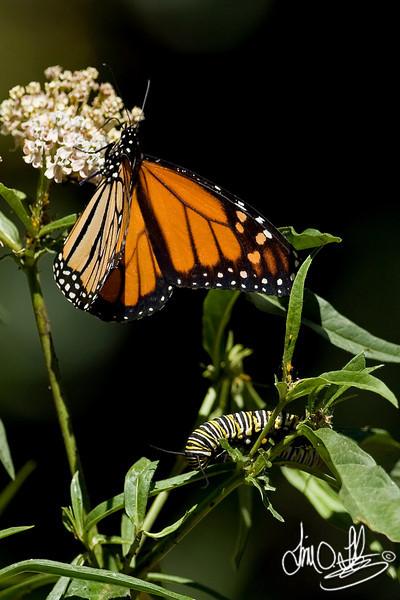 Monarch Butterfly with caterpillar<br /> Huntington Beach, CA