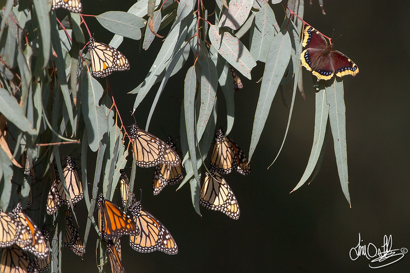 Monarch Butterflies and a Morning Cloak