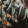 Monarch Butterflies and a Morning Cloak