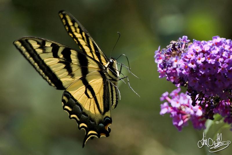 Western Tiger Swallowtail<br /> Huntington Beach, CA