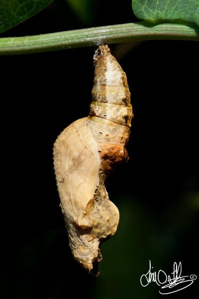 Gulf Fritillary Chrysalis