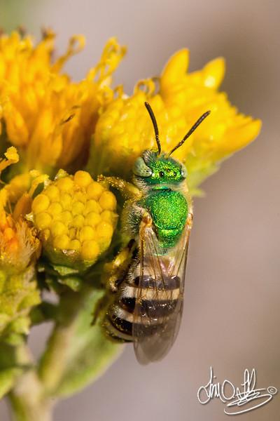 Halictid Bee • Green Metallic Bee (Agapostemon angelicus)<br /> Bolsa Chica Wetlands • Huntington Beach, CA