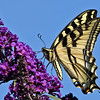 Western Tiger Swallowtail<br /> Huntington Beach, CA