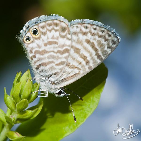 Marine Blue Butterfly