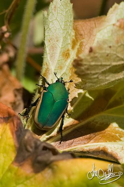 Green June Beetle<br /> Huntington Beach, CA
