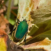 Green June Beetle<br /> Huntington Beach, CA