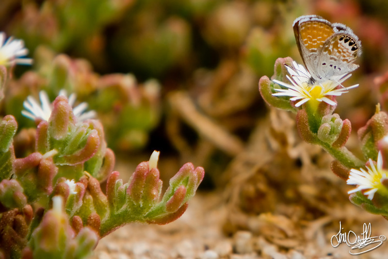 Western Pygmy Blue Butterfly<br /> Smallest butterfly in North America<br /> Huntington Beach, CA