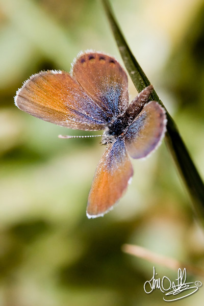 Western Pygmy Blue Butterfly<br /> Smallest butterfly in North America