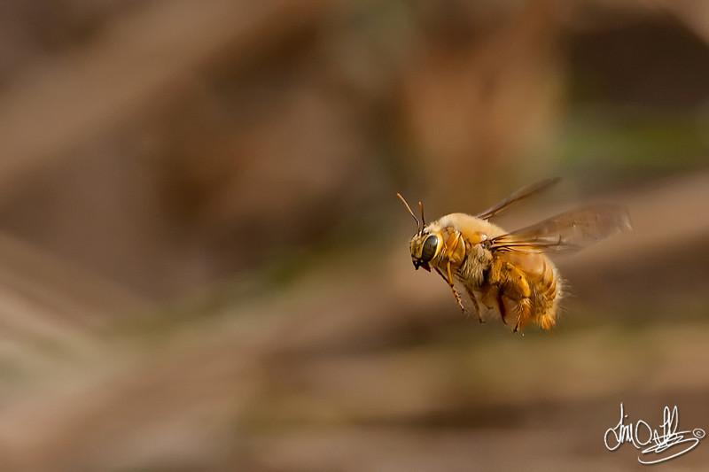 Carpenter Bee<br /> Bolsa Chica Wetlands • Huntington Beach, CA