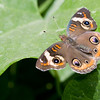 Buckeye Butterfly<br /> Shot at the Museum of Natural History in Los Angeles