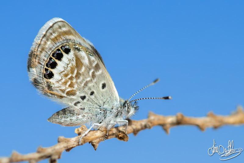 Western Pygmy Blue Butterfly