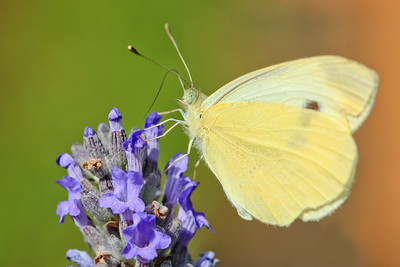 Sulphur Butterfly   by Bruno SUIGNARD
