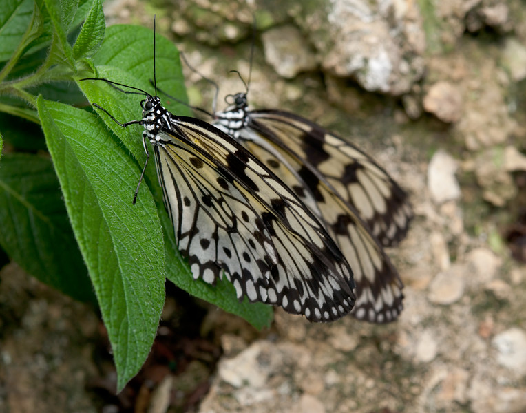 Tree Nymph (Idea leuconoe)