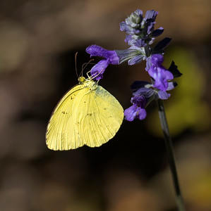 Small Grass Yellow butterfly - 2777