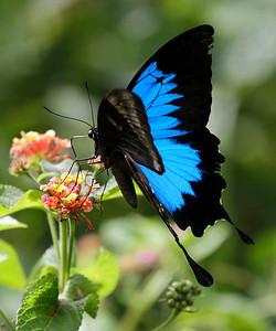 Ulysses butterfly_4557