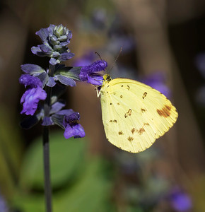 Common Grass Yellow - 2771
