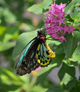 Cairns Birdwing,male - 1628