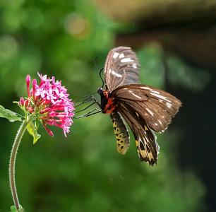 Cairns birdwing butterfly, female - 1660