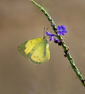 Grass Yellow - 1679