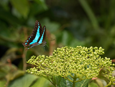 Blue Triangle butterfly - 5882