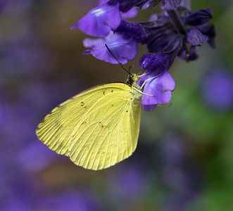 Grass Yellow -5036