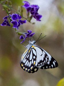 Caper White, butterfly - 9486