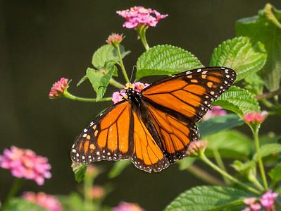 Monarch_9275