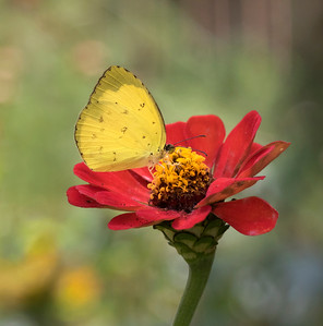 Large Grass Yellow - 3735