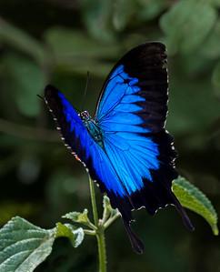 Ulysses butterfly_4548