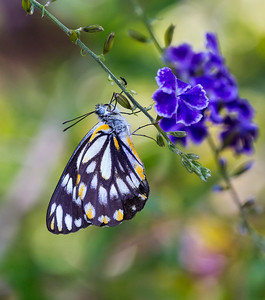Caper White butterfly - 9460