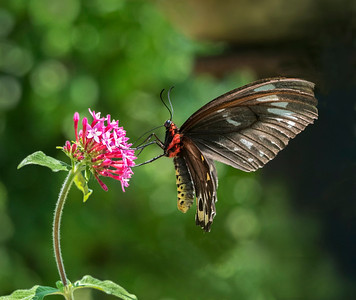Cairns Birdwing,female - 1661