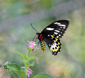 Richmond Birdwing,female - 9108