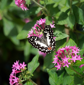 Chequered Swallowtail -1643