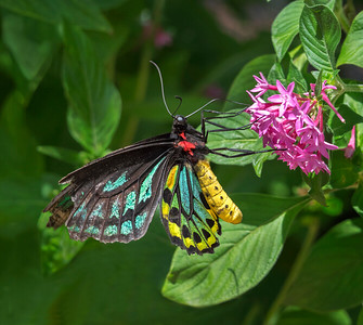 Cairns Birdwing butterfly, male - 1621