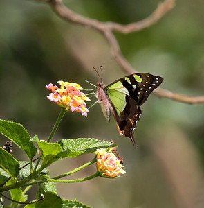 Macleay's Swallowtail - 6461