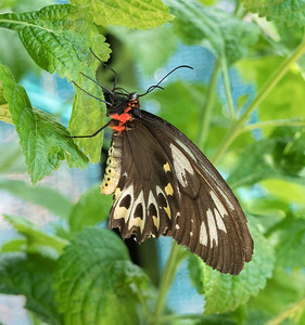 Cairns Birdwing,female - 1612