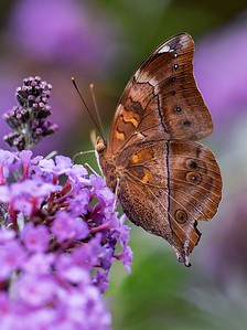 Leafwing butterfly_3087