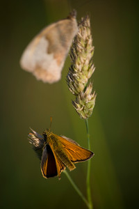 A Small Skipper with a Meadow Brown above.