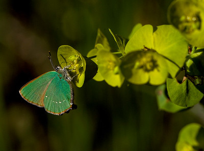 Green Hairstreak in Oaken Wood