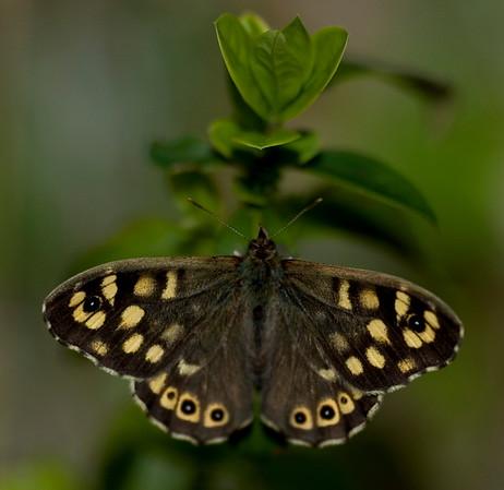 Nymphalidae - Browns