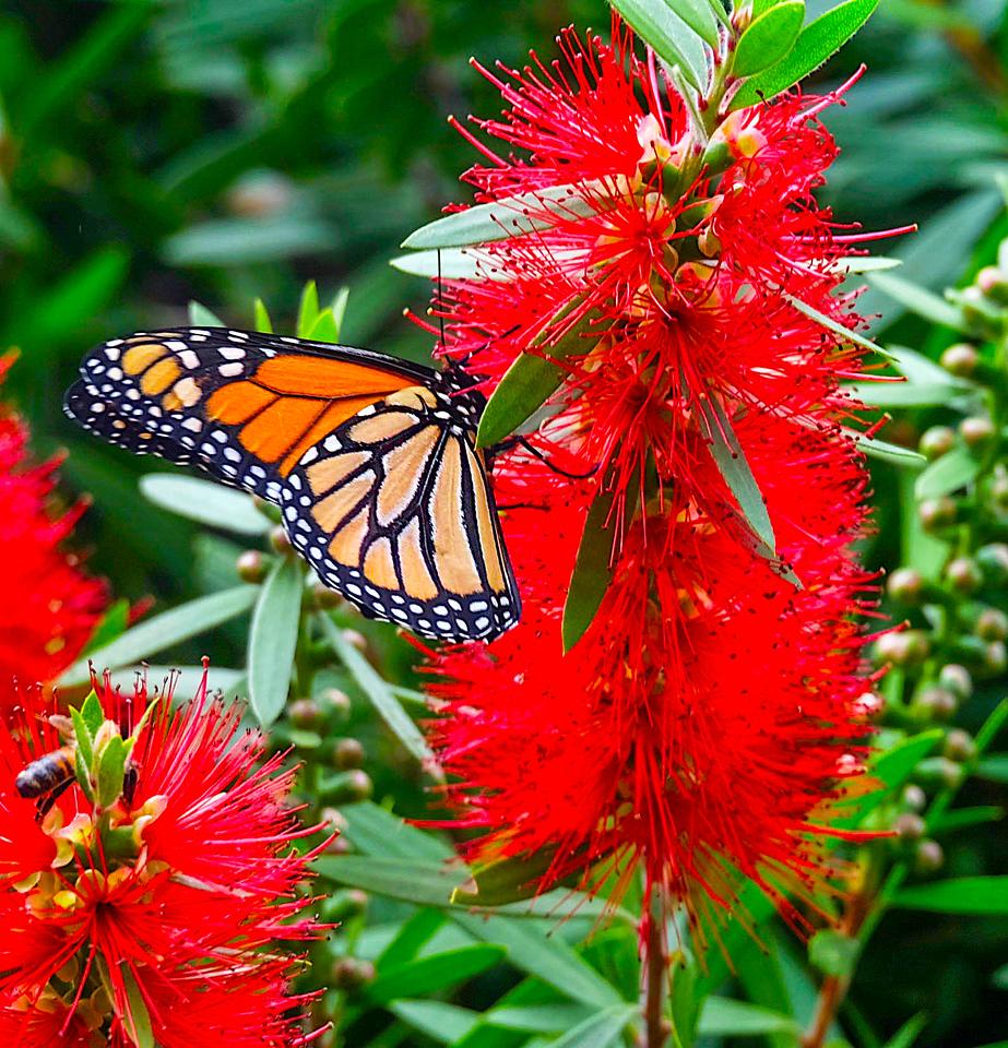 Bottle Brush Butterfly