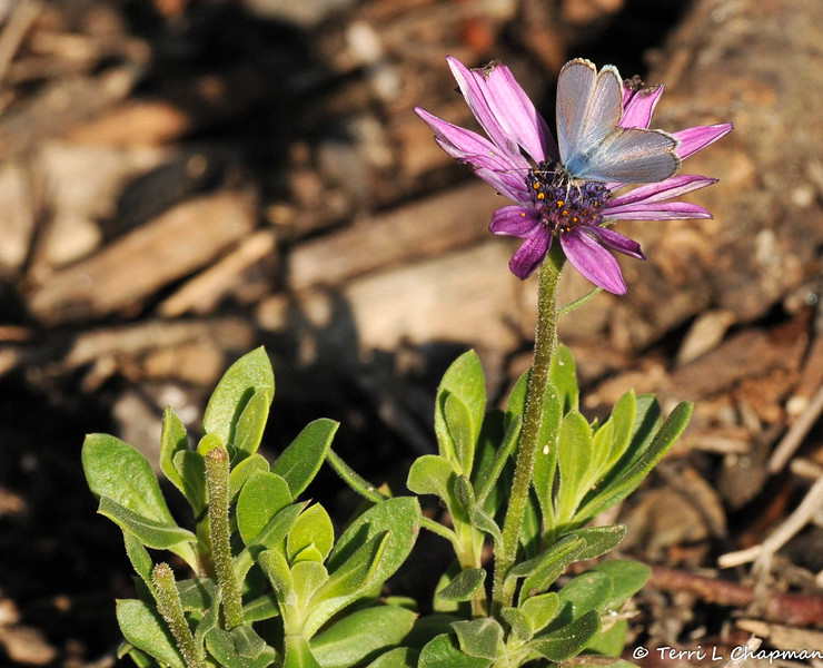 A Marine Blue Butterfly