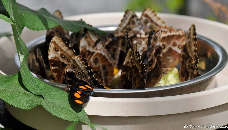 A bowl of Blue Morpho Butterflies, sipping fruit nectar, at the Winged Wonders Exhibit in Palm Desert, CA