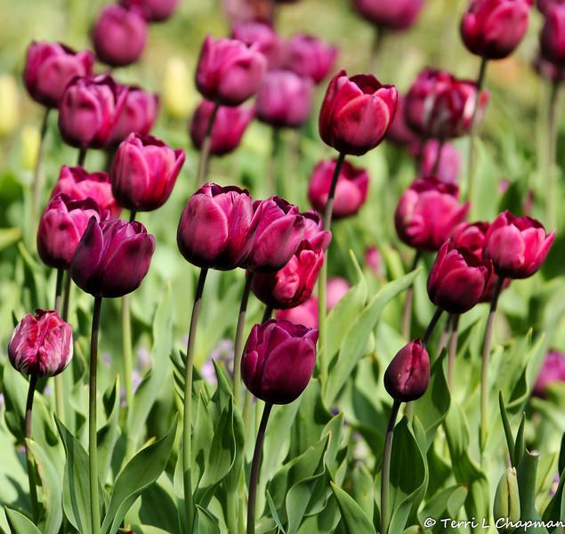2013 Spring Tulip display at Descanso Gardens in La Canada, CA