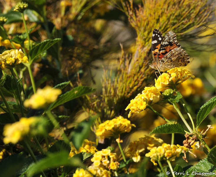 A Painted Lady Butterfly drinking nectar from a Lantana bloom