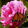 A male Monarch Butterfly resting on an Elizabeth Taylor hybrid tea rose