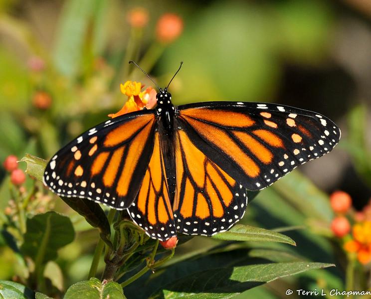 A female Monarch Butterfly on Milkweed