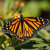 A female Monarch Butterfly on Milkweed
