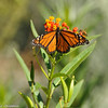 A male Monarch Butterfly and Bee on Milkweed