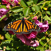 A female Monarch Butterfly resting on Sweet Chariot roses